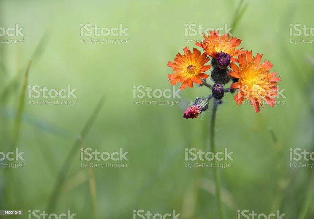 Orange hawkweed royalty free stockfoto