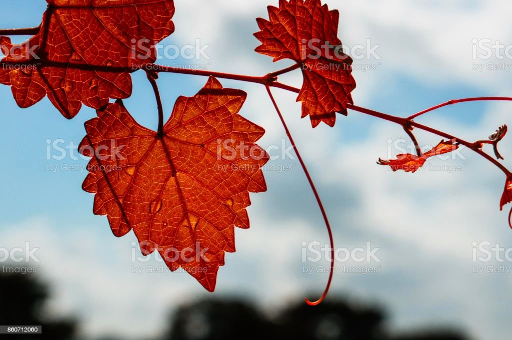 orange heart shaped leaf stock photo