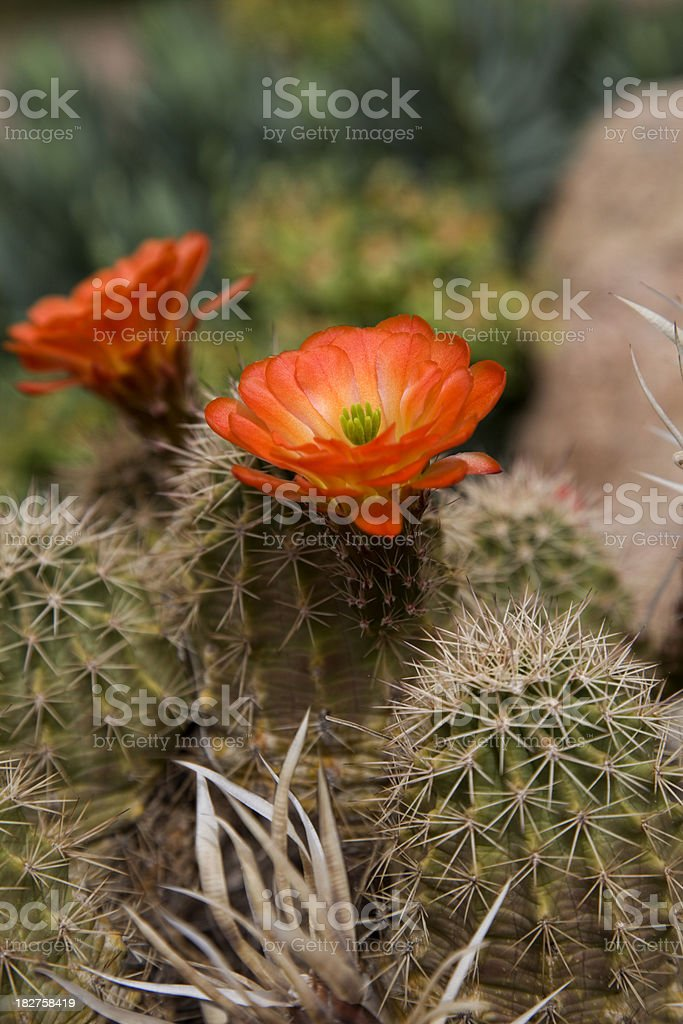 Orange Hedgehog Cactus in bloom royalty-free stock photo