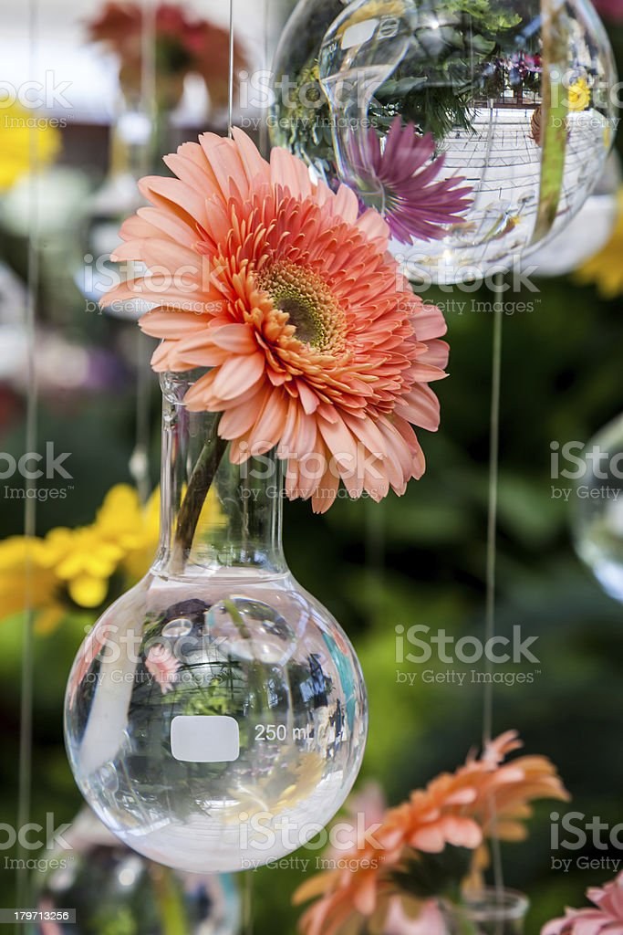 Orange Herbera flower royalty-free stock photo