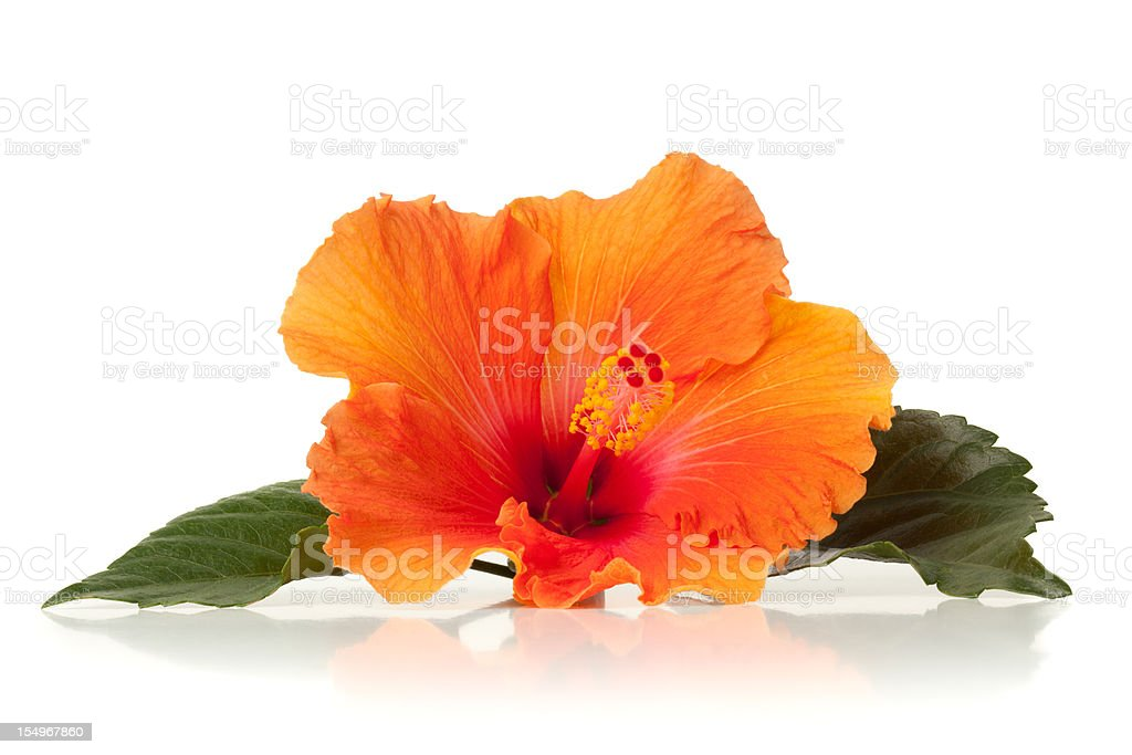 Orange hibiscus flower on white surface royalty-free stock photo