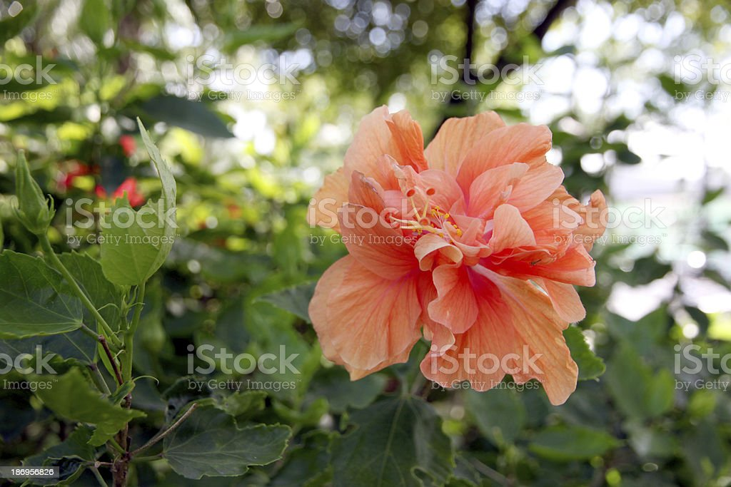 Orange Hibiscus flowers in the backyard. royalty-free stock photo