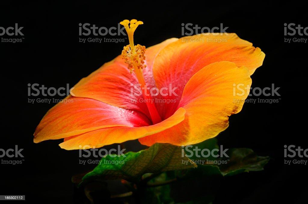 Orange hibiscus on black stock photo