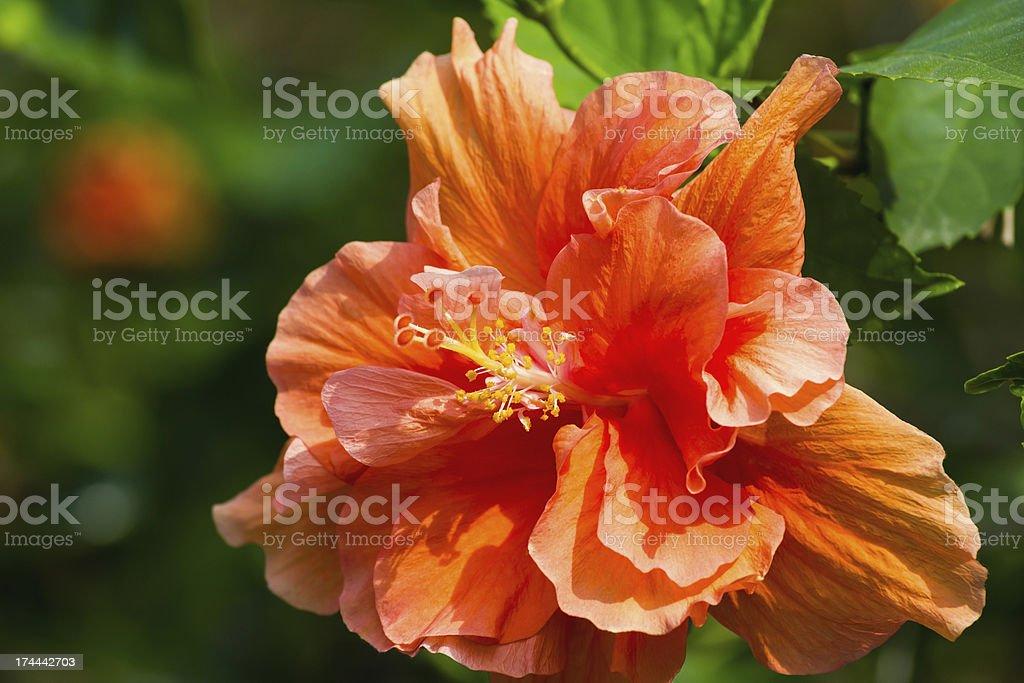 Orange hibiscus royalty-free stock photo