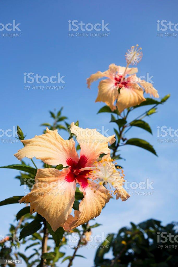 Orange Hibiscus. royalty-free stock photo
