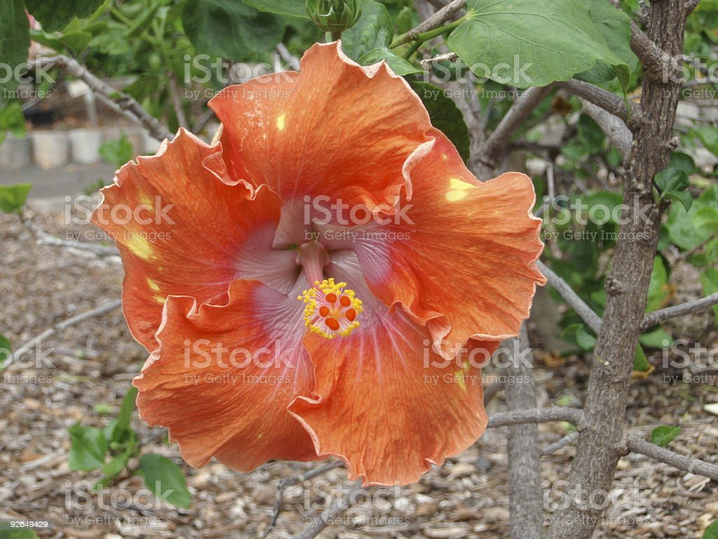 Orange Hibiscus royalty-free stock photo