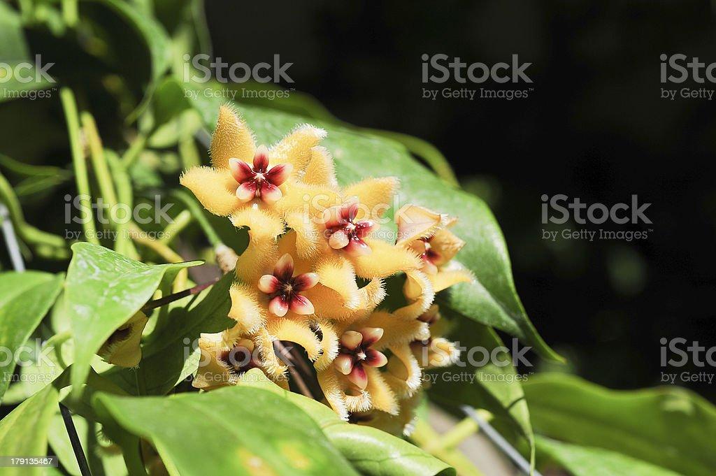 orange hoya flowers royalty-free stock photo