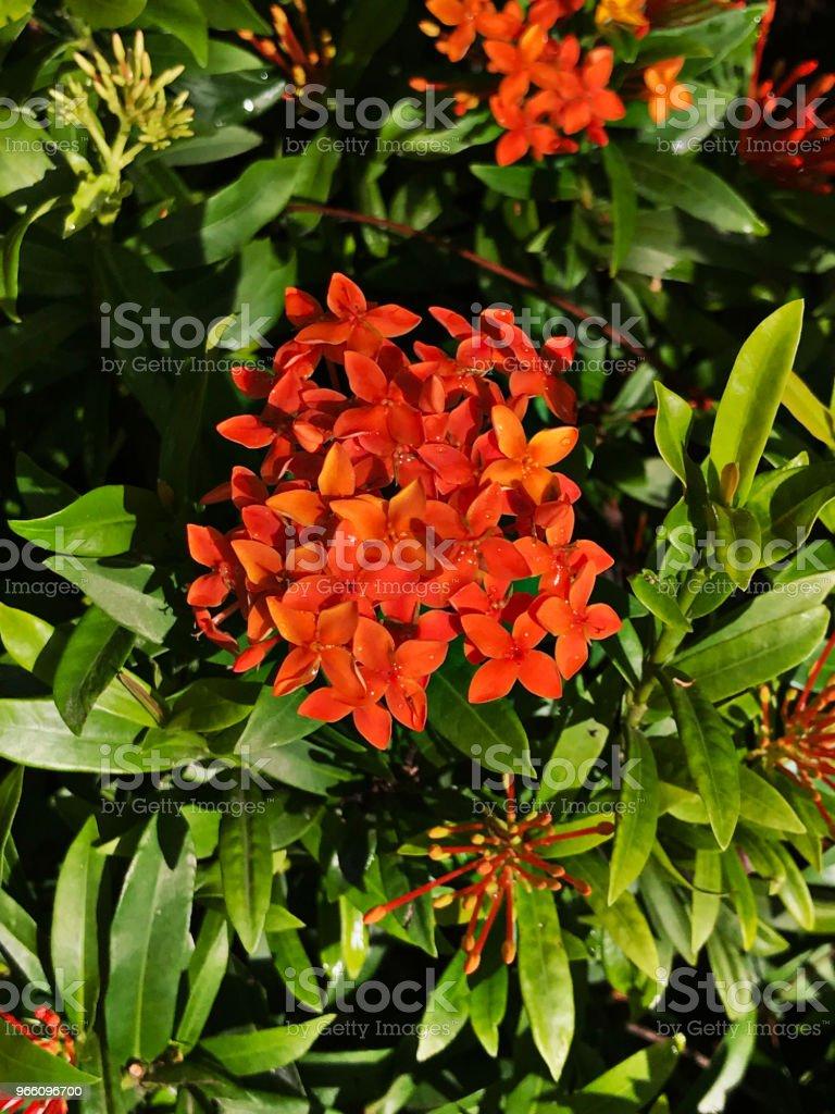 Orange Ixora blommor. - Royaltyfri Beskrivande färg Bildbanksbilder