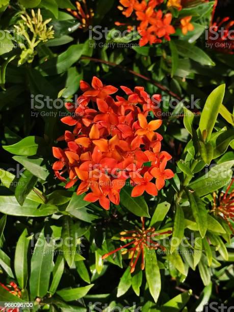 Orange Ixora Blommor-foton och fler bilder på Beskrivande färg