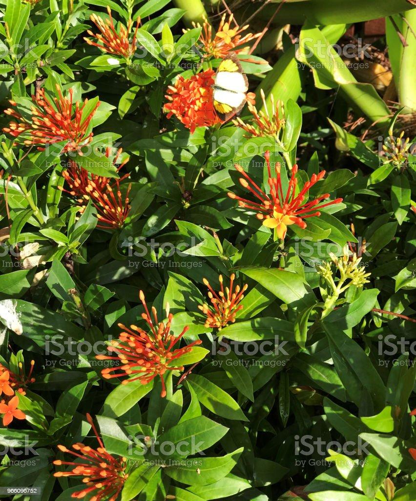Oranje Ixora bloemen. - Royalty-free Beschrijvende kleur Stockfoto