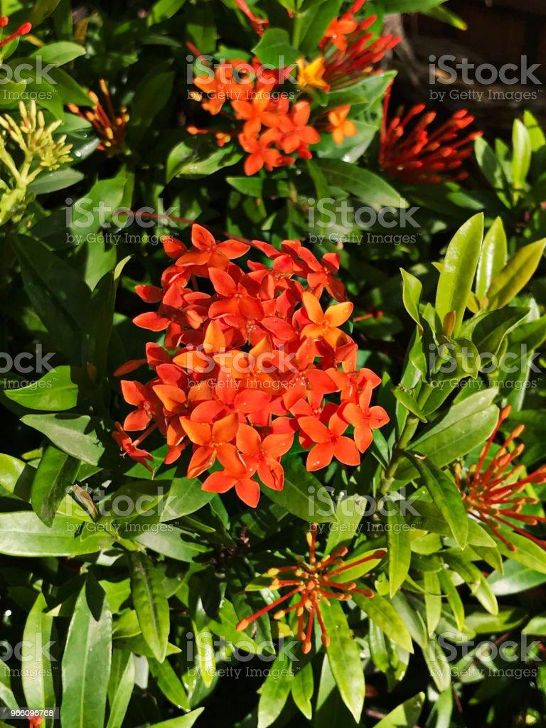 Orange Ixora flowers. - Стоковые фото Без людей роялти-фри