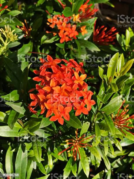 Оранжевые Цветы Иксора — стоковые фотографии и другие картинки Без людей