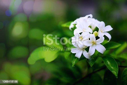 Orange jasmine blooming in the garden