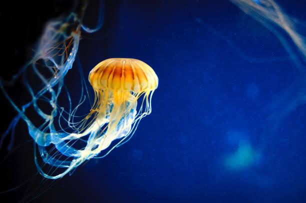 orange jellyfish or chrysaora fuscescens on blue - organizm wodny zdjęcia i obrazy z banku zdjęć