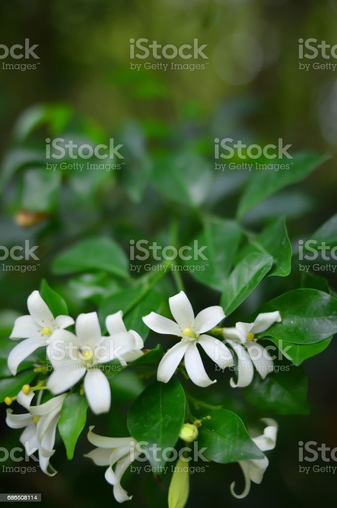 Orange Jessamine,Murraya paniculata royalty-free stock photo
