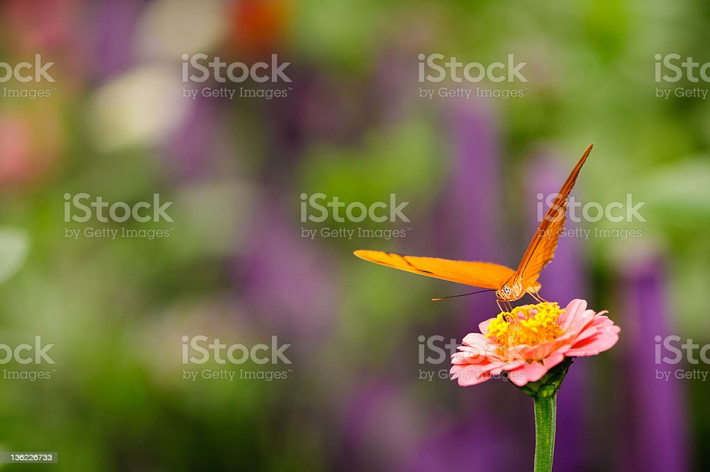 Orange Julia butterfly pink zinnia flower. stock photo
