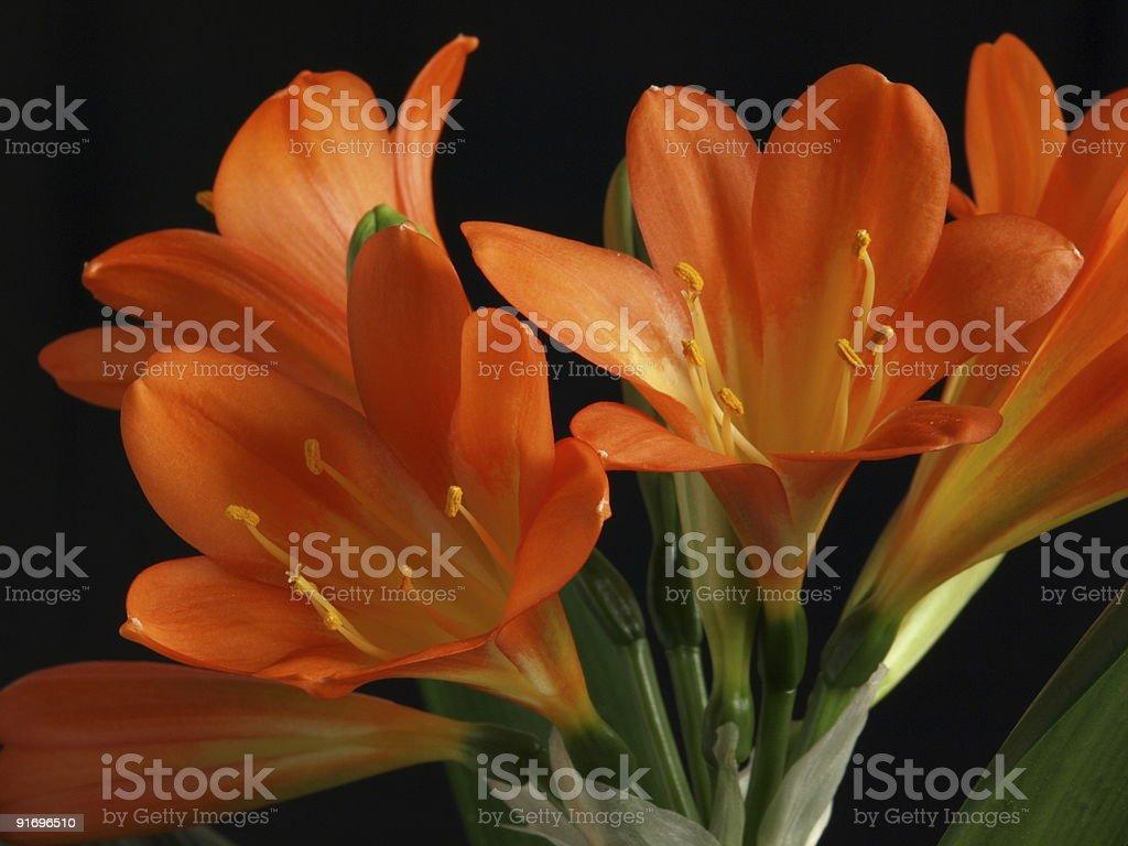 orange kaffir lilies stock photo