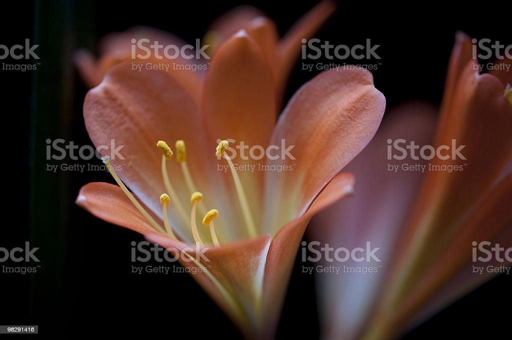 Orange Kaffir Lily royalty-free stock photo