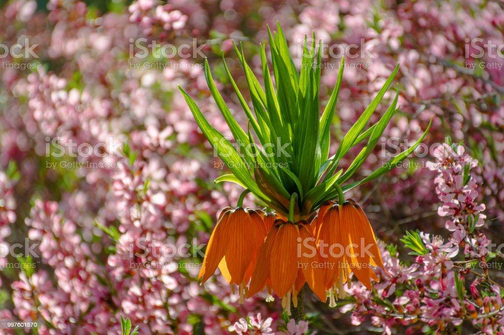 Orange Kaiser Krone in voller Blüte – Foto