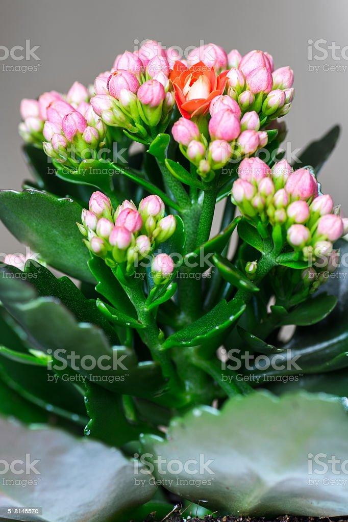 Naranja Kalanchoe Flor Apertura Pie Hacia Fuera De Color De Rosa ...