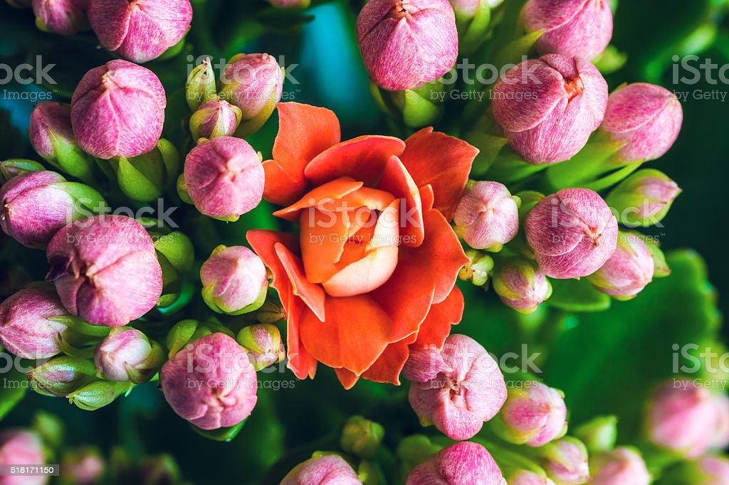 Orange Kalanchoe flower opening standing out from pink buds macro stock photo