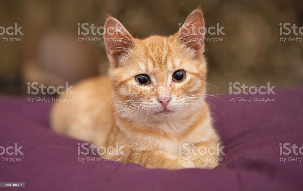 Orange kitten lie on the bed stock photo
