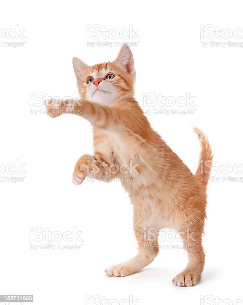 Orange kitten standing and playing on white picture id158731890?b=1&k=6&m=158731890&s=612x612&h=alvqjrdwfbqevdxkrrpmbezfwwzn13o hx savsul00=