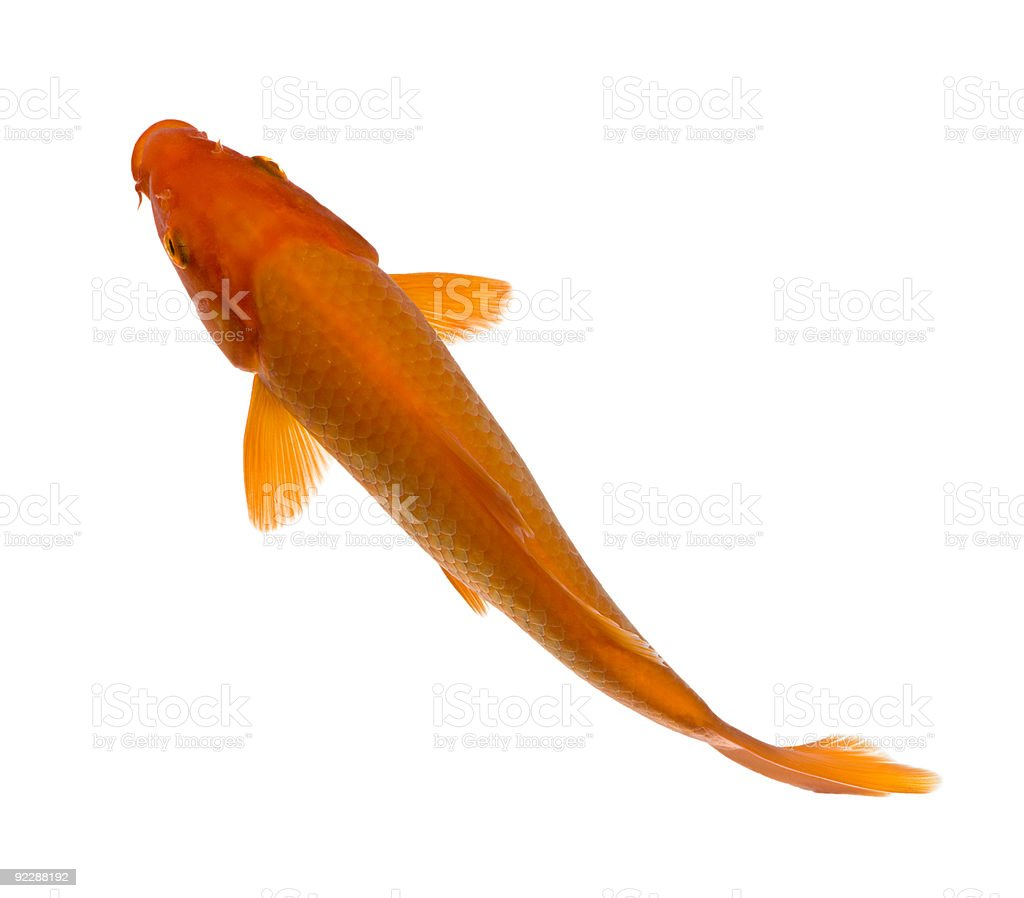 Orange Koi - Cyprinus carpio stock photo