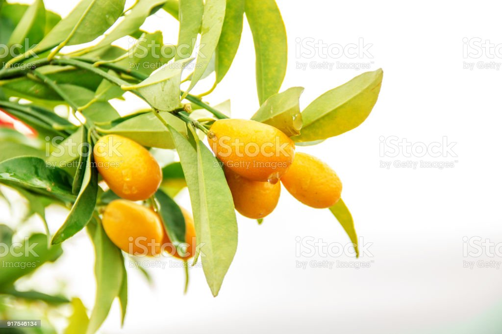 orange kumquat on the tree exotic fruits on branch and water drops