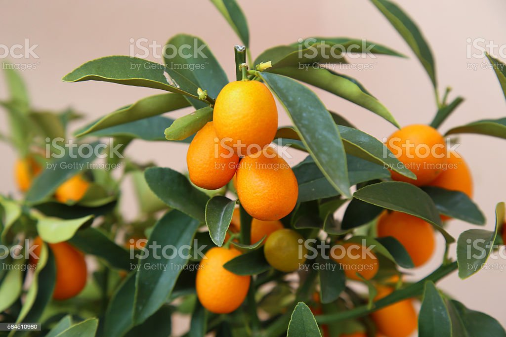 Orange Kumquat stock photo