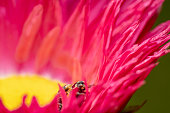 Orange lady bug with black spots peeking out while mating between the petals of a beautiful pink gerbera flower with yellow center