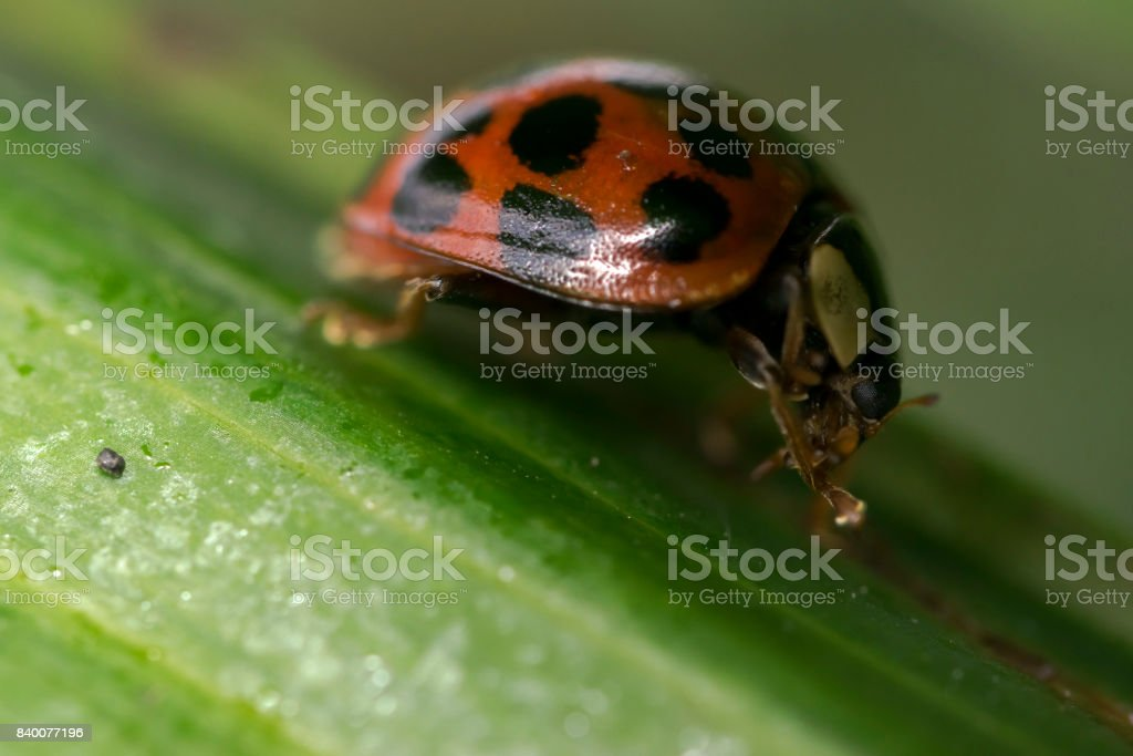 Orange Ladybug With Black Dots Cleaning Itself On Some Leaves Stock