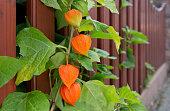 Orange Lampionpflanze