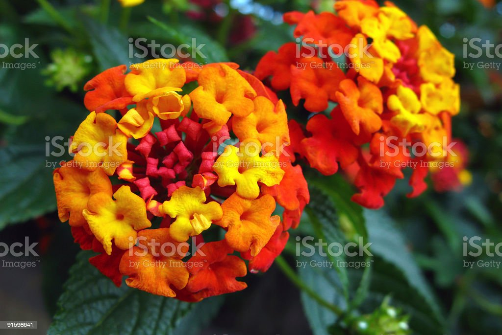 Orange lantana flowers on the plant stock photo