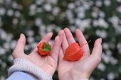 orange lanterns of physalis alkekengi on girl hands