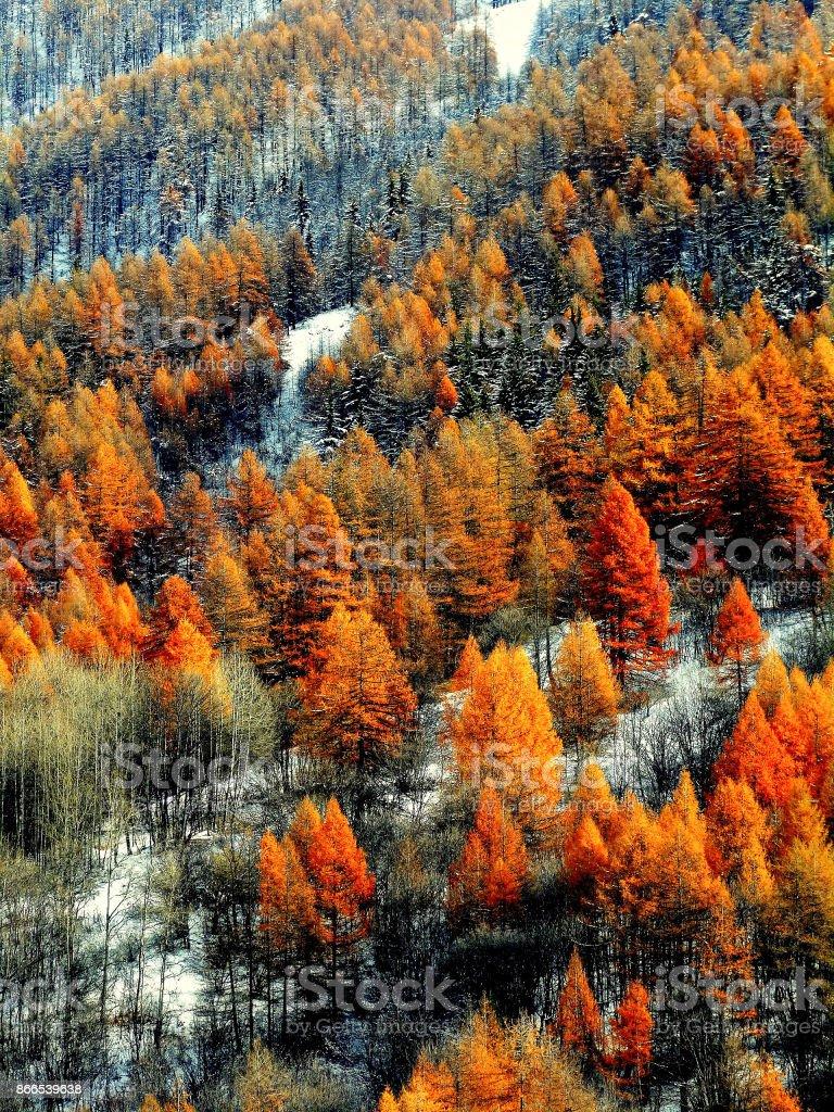 Alerces naranja en nieve - foto de stock