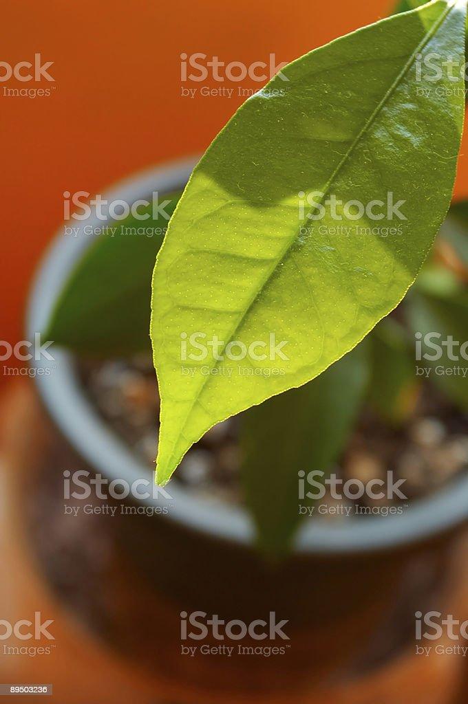 Arancione. Foglia. Fiore. Pentola. Verde. Luce. foto stock royalty-free