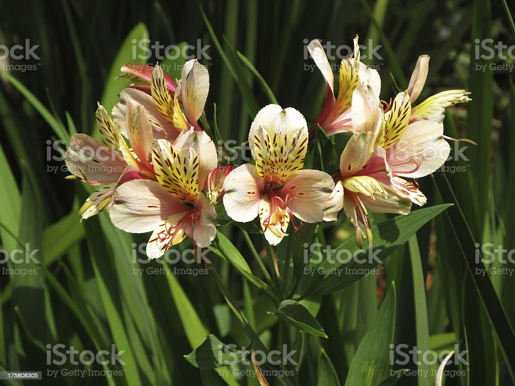 Orange Leave Lily with Brown Spots royalty-free stock photo