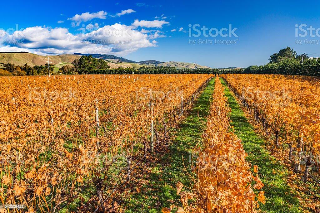 Orange leaves grape plants in a winter vineyard stock photo