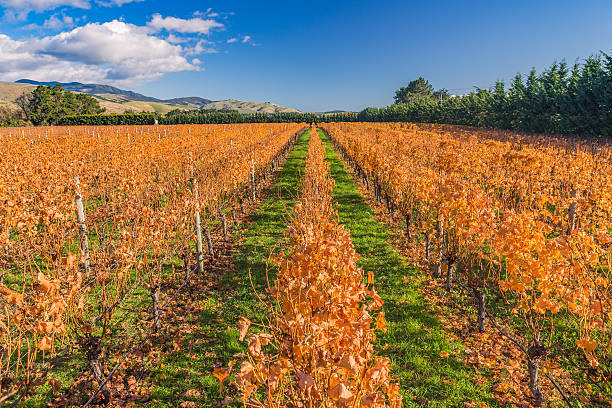 Orange leaves vineyard in a sunny winter day stock photo