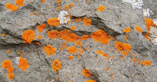 Orange lichen on grey rock high contrast stock photo