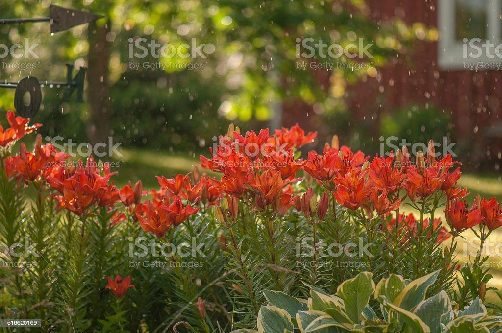 Orange lilies in rain stock photo