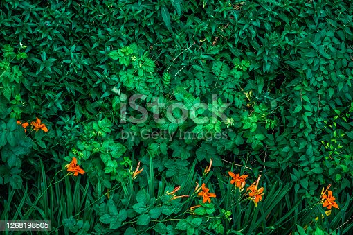 Top view of orange lilies on a background of green leaves