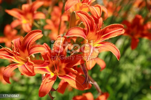 Beautiful orange day lilies closeup. Nice background