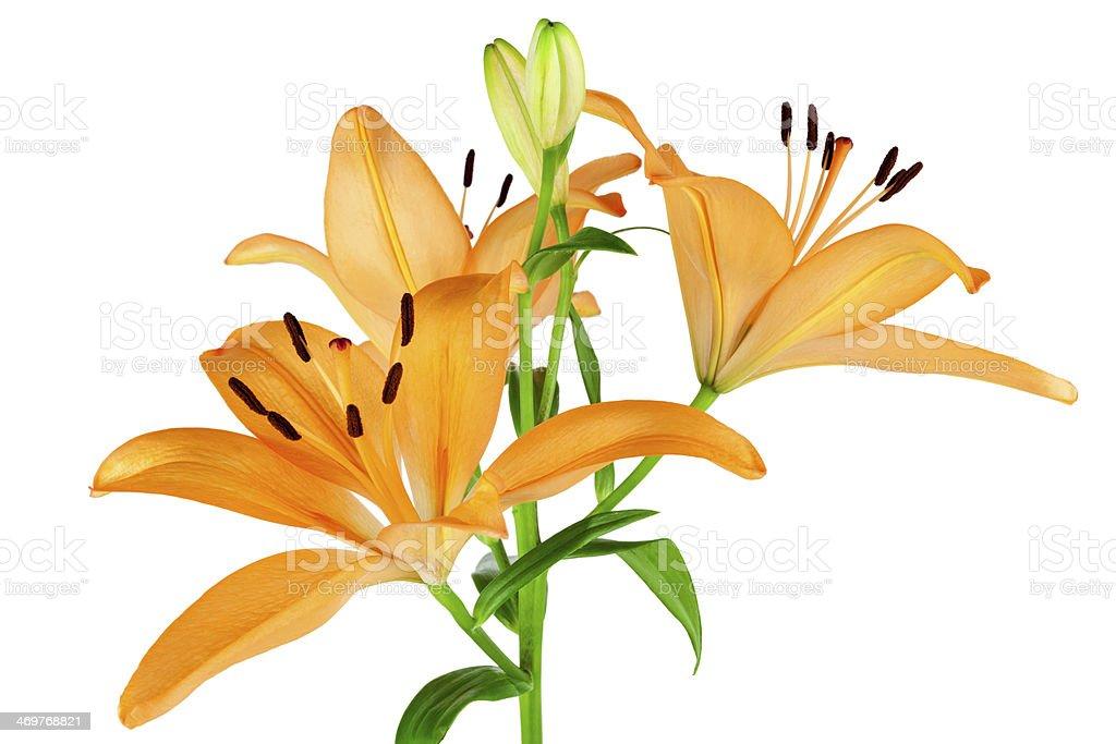 Orange Lilies stock photo