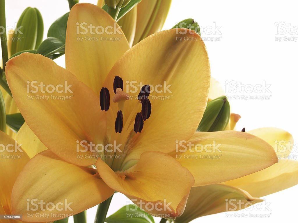 Orange lilies royalty-free stock photo