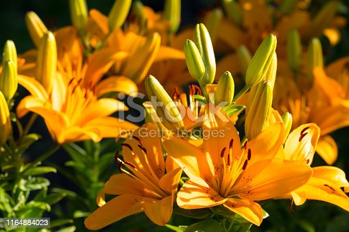 orange lilies under the sun on a summer day, background blurred flowers outdoors in the garden