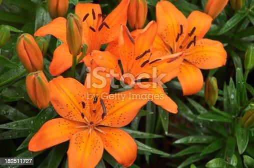 Orange Lilium Spp / Asiatic Lily - Liliaceae