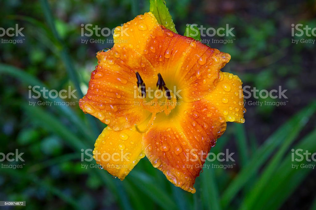 Orange Lilly drenched in spring rain stock photo