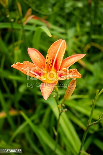 Single blooming orange lily flower in golden warm sun in the spring or summer green garden